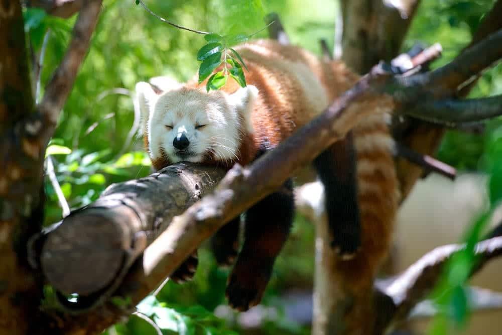 Roter Panda im Zoo von San Diego