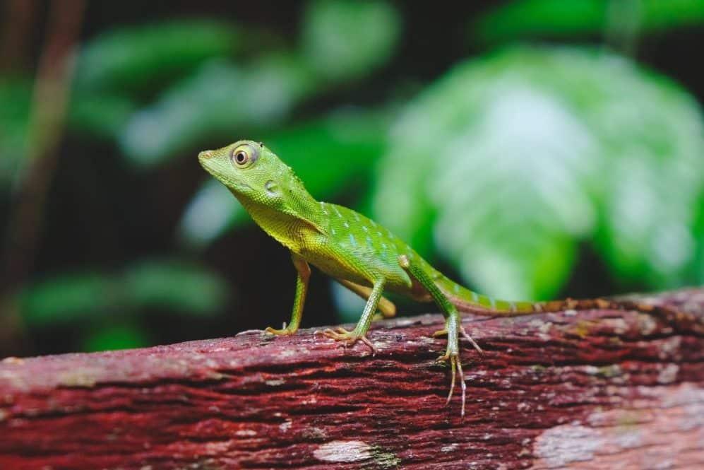 Grüne Eidechse auf Borneo