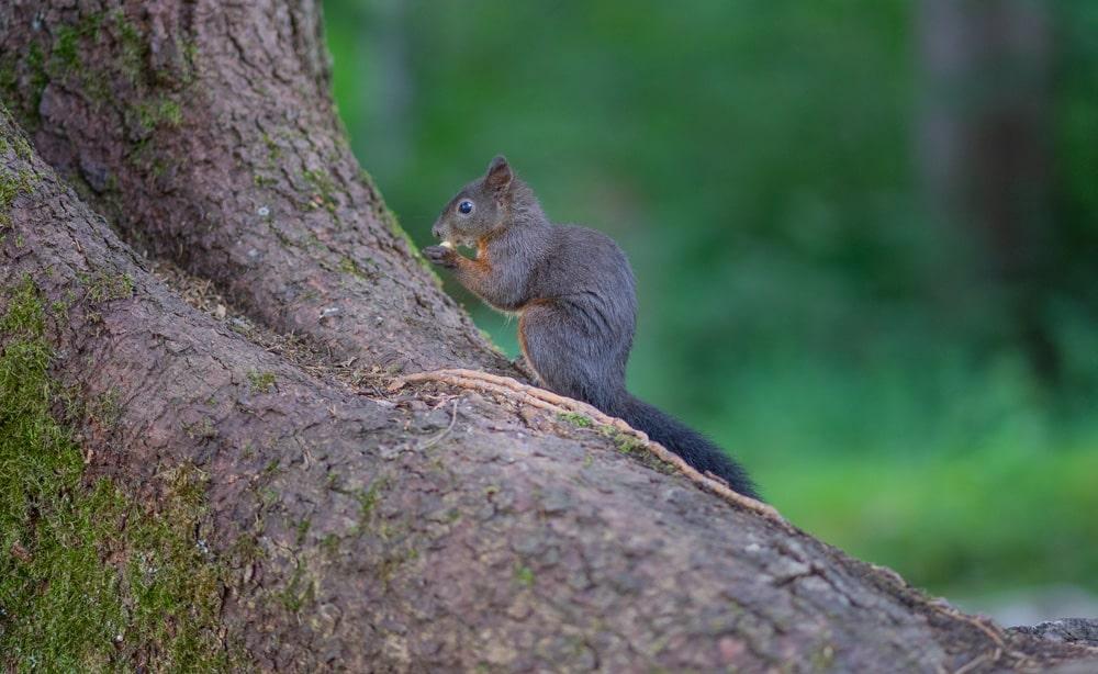 Ein Eichhörnchen bei seiner Lieblingsbeschäftigung, Foto: Pascal Mauerhofer / Unsplash