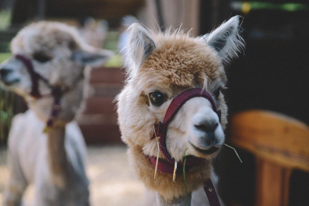 Ausgehbereite Lamas, Foto: Olga Kravchuk / Unsplash