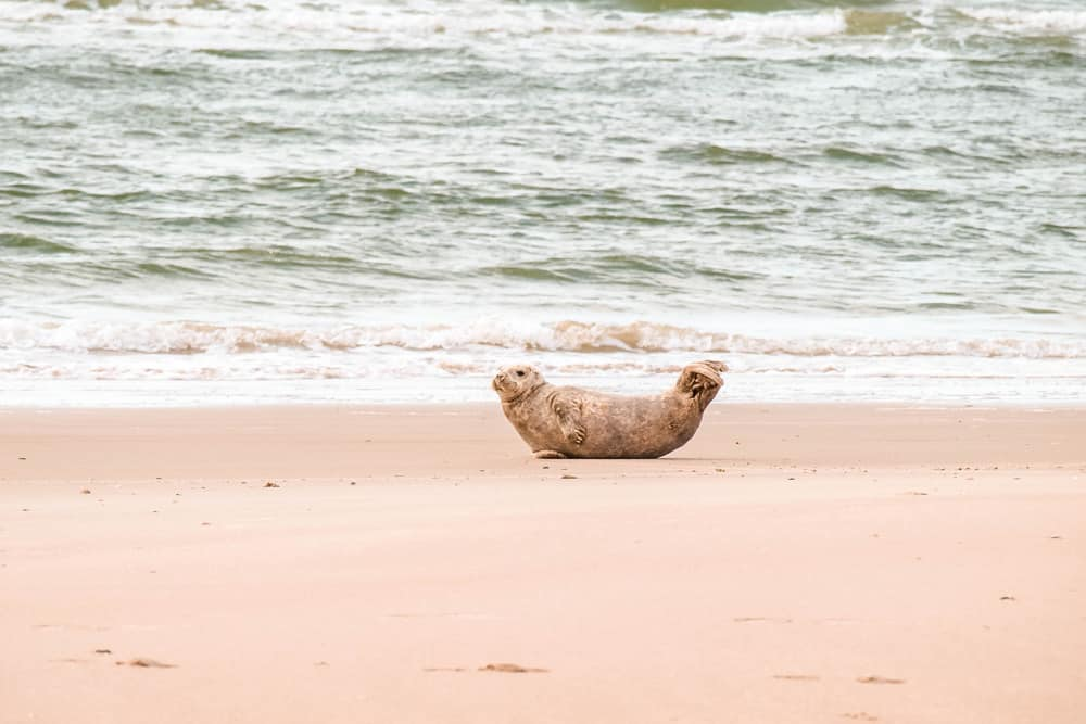 So niedlich auch Seehunde aussehen mögen, immer schön Abstand halten und den Tieren nicht zu Nahe kommen, Foto: Daniela Hinz