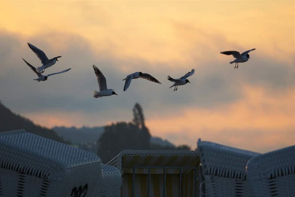 Typische Artgenossen auf Usedom: Lachmöwen, Foto: Kranich17 / Pixabay