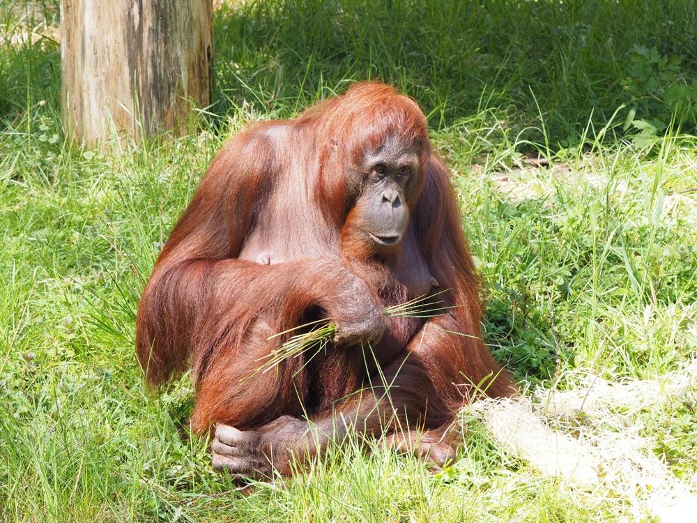 Nicht jeder findet Zoos gut, dennoch helfen sie bedrohte Tierarten wie Orang-Utans zu überleben. Foto: Carel van Vugt / Unsplash