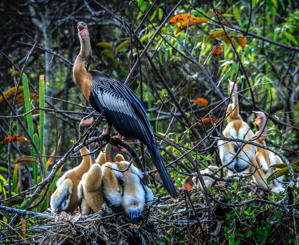 Nicht nur Alligatoren leben in den Everglades, sondern auch an die 40 Vogelarten, darunter der Anhinga (Amerikanischer Schlangenhalsvogel), Foto: Sterlinglanier Lanier / Unsplash