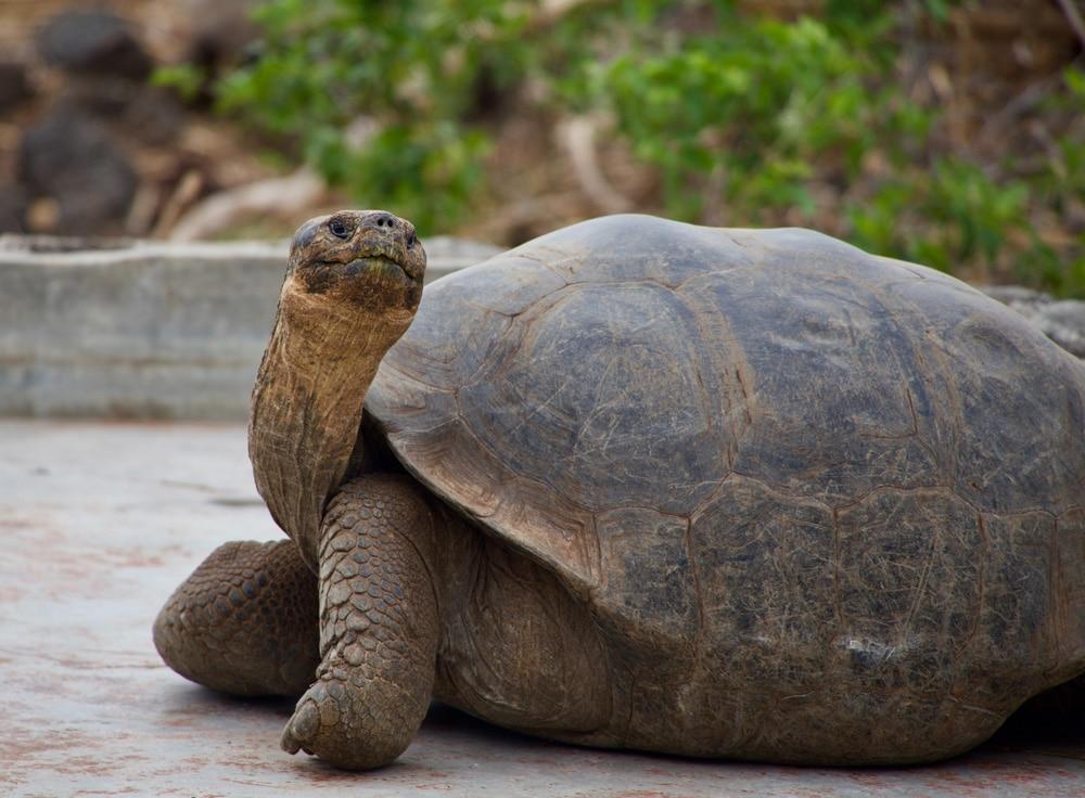 Eine der berühmten Galapagos-Schildkröten, Foto: Magdalena Kula Manchee / Unsplash