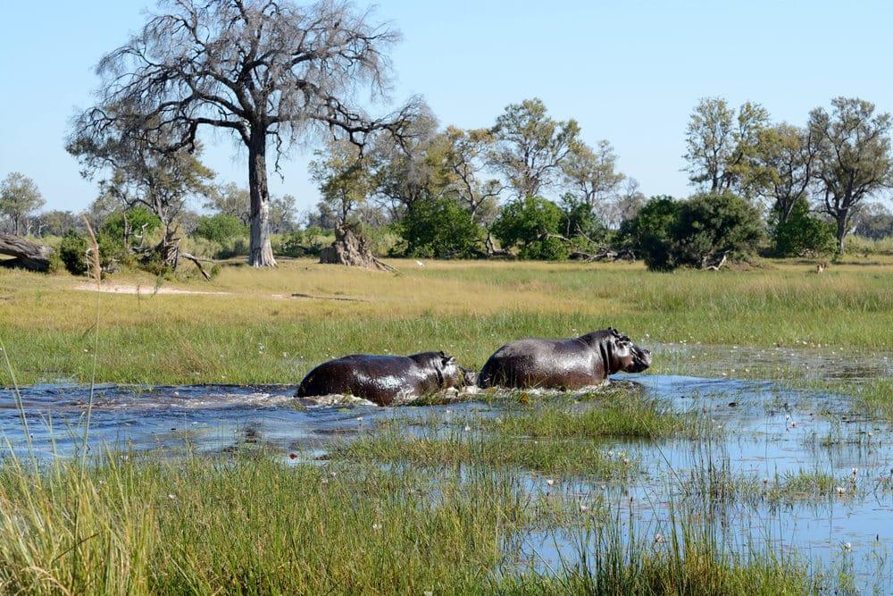 Nicht nur Flusspferde kann man am Okavango-Delta beobachten, Foto: Colin Watts / Unsplash